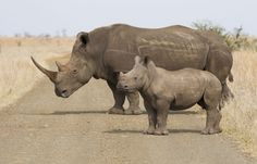 Kruger rhinos' final chance | Conservation | The Earth Times