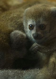 Twin Gentle Lemurs - the world's rarest Lemur species - were born at Bristol Zoo Gardens.  More at ZooBorns.com and at http://www.zooborns.com/zooborns/2014/08/worlds-rarest-lemurs-born-at-bristol-zoo.html