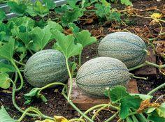 Melonen vor Feuchtigkeit schützen