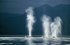 Humpback-Whales.jpg (599×386)