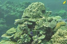 reef-surfonaleaf