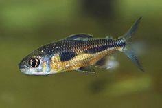 Bryconaethiops Boulengeri