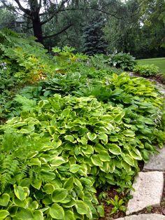 Hostas - A collector plant for Northern gardens | Live Dan 330