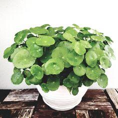 Centella asiatica ~ Pennywort