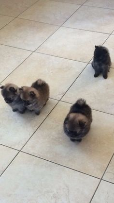 Pomeranian Pups More