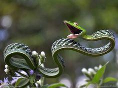 serpent-plat-defense-national-geographic-suhaas-premkumar