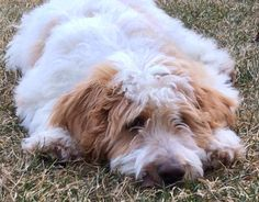 Parti Goldendoodle from Goldendoodles of Niagara