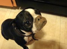 """Boston Terrier  """"I don't have a muddy nose"""" ?  Why do you ask?"""