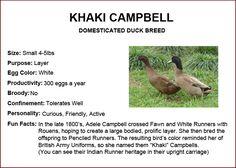 Chicken Breeds - Khaki Campbell