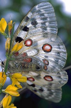 Butterflies, (Parnassius apollo)