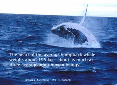 How big is a humpback whale's heart?