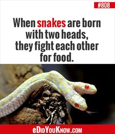 When snakes are born with two heads, they fight each other for food. Wtf Fun Facts, True Facts, Random Facts, Random Stuff, The More You Know, Good To Know, Did You Know Facts, Intresting Facts, Knowledge