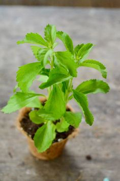 Stevia (Stevia rebaudiana) Leafy Plants, Medicinal Herbs, Stevia, Grocery Store, Perennials, Helpful Hints, Smoothies, Leaves, Canning