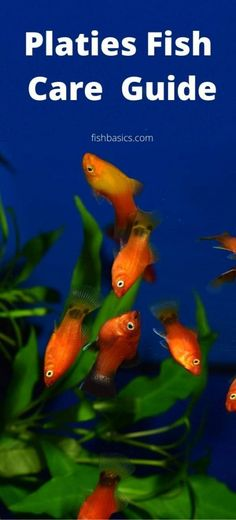 Platy Fish, Tropical Freshwater Fish, Fish Care, Pet Store, Fresh Water, Around The Worlds, Popular, Female, Pets