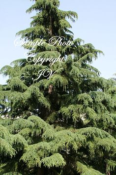 Cedrus deodara. Drought tolerant once established. This tree is mostly grown as an ornamental often planted in the landscape garden as well as parks. Bright green foliage is distinguished by long soft needles. | eBay!