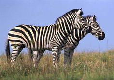 Zebra pair standing side-on
