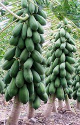 Why waste those wonderful black seeds you can find inside a papaya fruit, when you can plant them and grow your own papaya trees. Quick to germinate and grow, the papaya tree can reach 12 feet in height within 18 months of planting the seed. Fruit Plants, Fruit Garden, Vegetable Garden, Hydroponic Gardening, Container Gardening, Aquaponics Plants, Aquaponics System, Fruit And Veg, Fruits And Vegetables
