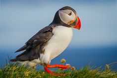 Do The Puffin Walk by devid. @go4fotos