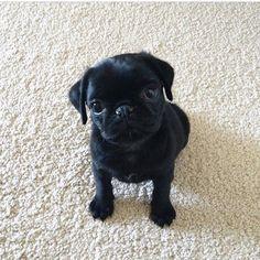 Pug puppy ☺️| Photography by @mdmathepug