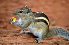 """Indian Palm Squirrel or Three-striped Palm Squirrel (Funambulus palmarum) - photo by Augustus Binu, via Wikipedia;  found in India and Sri Lanka;  """"The back is a grizzled, grey-brown colour with three conspicuous white stripes which run from head to tail. The two outer stripes run from the forelegs to the hind legs only. It has a creamy-white belly and a tail covered with interspersed, long, black and white hair.""""      https://en.wikipedia.org/wiki/Indian_palm_squirrel"""