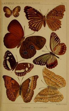 Illustrations of 'Oriental Butterflies' taken from 'Journal of the Bombay Natural History Society.' Published 1886. Smithsonian Libraries
