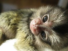 Baby marmoset born at the Southwick Zoo.   ...........click here to find out more     http://googydog.com