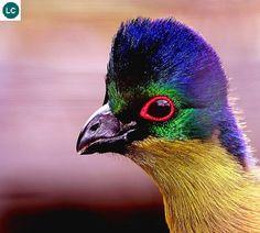 https://www.facebook.com/WonderBirdSpecies/ Purple-crested turaco (Tauraco porphyreolophus); Africa; IUCN Red List of Threatened Species 3.1 : Least Concern (LC)(Loài ít quan tâm) || Chim Turaco mào tím; Châu Phi; Họ Ăn chuối-Musophagidae (Turacos).