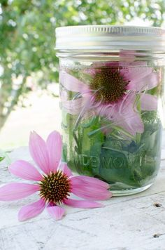 Herbal Medicine Homemade Medicine Made Simple: How to Make Echinacea Tincture - Learn how simple it is to make echinacea tincture at home using the whole plant. Healing Herbs, Medicinal Plants, Natural Healing, Holistic Healing, Herbal Tinctures, Herbalism, Natural Home Remedies, Herbal Remedies, Holistic Remedies