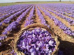 Mejores 130 Imagenes De La Flor Del Azafran En Pinterest En 2018 - Cultivo-azafran