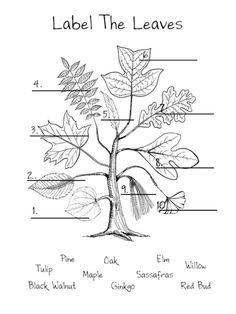red bud elm maple black walnut willow tulip oak sassaf… – My Favorite Forest School Activities, Nature Activities, Plant Science, Science Nature, Science For Kids, Life Science, Science Fun, Leaf Identification, Tree Study