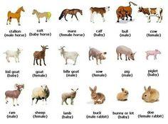 English vocabulary - animals, female and baby names. Nimettäviä kuvia https://fi.pinterest.com/Gloria1257/english-vocabulary/
