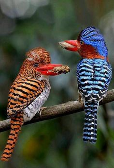 A couple of Banded KINGFISHERS-Thailand - I think of the Creator as a great costume designer, where his most beautiful works are the birds. Kinds Of Birds, All Birds, Love Birds, Pretty Birds, Beautiful Birds, Animals Beautiful, Nature Animals, Animals And Pets, Cute Animals