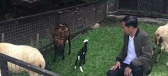 "Senengnya Pak Jokowi Kambing Peliharaannya Melahirkan  KONFRONTASI-Presiden Joko Widodo pada Senin bercerita tentang kegembiraannya akan kelahiran dua ekor anak kambing lewat video blog atau vlog yang diunggah sekitar satu jam yang lalu melalui akun Youtube-nya bernama ""Presiden Joko Widodo""  Vlog berjudul ""#JKWVLOG Kelahiran Dua Ekor Anak Kambing di Istana Bogor"" itu telah ditonton lebih dari 42 ribu kali dengan penampilan Presiden Jokowi yang mengenakan jaket bomber berwarna hijau gelap…"