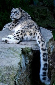 "Powerful Animals | Powerful Movement | Spirit Animals | Snow Leopard Spirit Animal | Enjoy a Powerful Story of Spirit Animals as Guides When You Read ""Giving Voice to Dawn"", a New Visionary Novel of Finding Life Purpose 