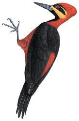 Crimson-bellied Woodpecker (Campephilus haematogaster)