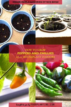HOW TO GROW PEPPERS AND CHILLIES AS A HOUSEPLANT INDOORS Pepper and chilli plants are the ideal houseplant for in your windowsill and will give you a lot to harvest. We give simple steps how to grow and take care of them.