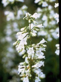 mississippi wildflowers | Mississippi penstemon, Smooth white beardtongue, Penstemon digitalis