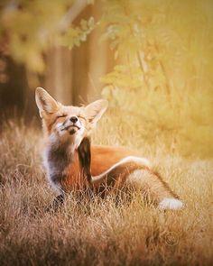 Red Fox by Julie Audet