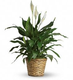 Peace Lily: Give peace a chance! Also known as the Peace Lily, the spathiphyllum plant enchants everyone with its glossy, graceful leaves. Peace Lily Indoor, Peace Lily Plant, Sympathy Plants, Sympathy Flowers, Plant Delivery, Flower Delivery, Plantas Indoor, Fast Flowers, Saintpaulia