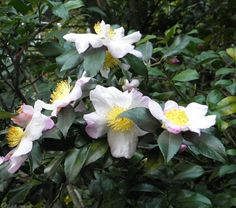 http://myjunglegarden.com/2012/07/camellia-sinensis/