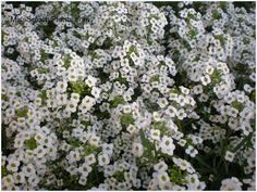 "Alyssum:  Available in purple, white, pink;  Stays very low- 6"" tall;  Full sun to some shade;  Grows from October until June;  No cold protection needed"