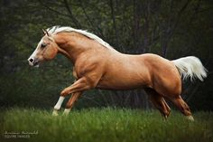 Stunning Quarter Horse stallion, Little Chex To Cash. photo by Carina Maiwald