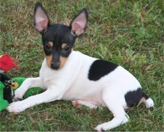 Toy Fox Terrier -  Clementines Front Page News