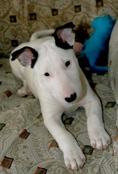 English bull terrier, Sugar :)