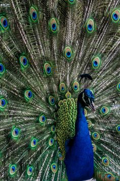 Photograph Peacock by Natalia on 500px