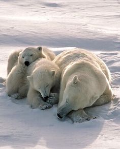 Polar Bear With Cubs Sleeping On Arctic Tundra Stock Foto 116102626 : Shutterstock Nature Animals, Animals And Pets, Baby Animals, Funny Animals, Cute Animals, Bear Pictures, Animal Pictures, Photo Ours, Arctic Tundra