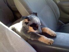So sleepy... Blue Heeler Puppy