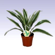 Sávos sárkányfa, Dracaena Warneckii 20 cm magas 12cs Green Office, Plants, Plant, Planets