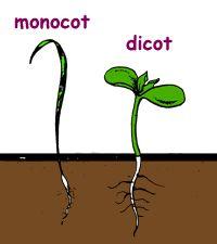 Diagram of Monocot/Dicot  C1W8