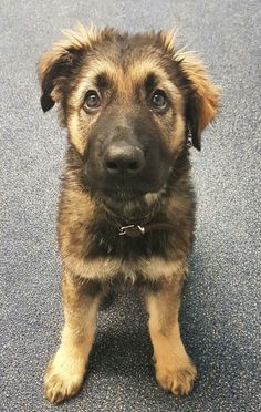 German Shepherd puppy- holy cow how sweet are you tiny baby? Akita Puppies, Akita Dog, Cute Puppies, Cute Dogs, German Shepherd Pictures, German Shepherd Puppies, German Shepherds, German Dogs, Loyal Dogs